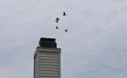 Whooping Cranes Over Carraig Nua