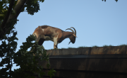 Goat On Roof In Sister Bay