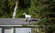 Lose A Goat?