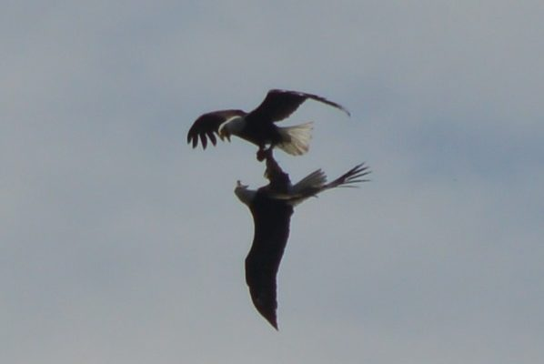 Inverted Bald Eagles